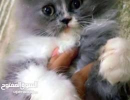 Female kitty Ragdoll