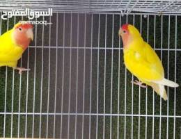 lutino lovebirds pair