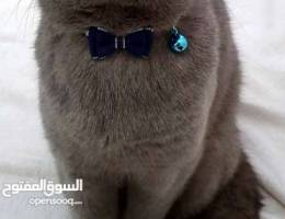 Pure scottish fold for mating