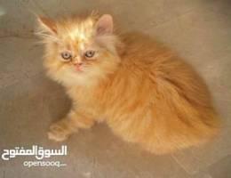 Kitten ( Tiger)