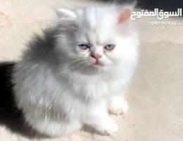 kitten ( Male)